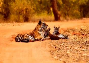 india golden triangle tour with tiger safari